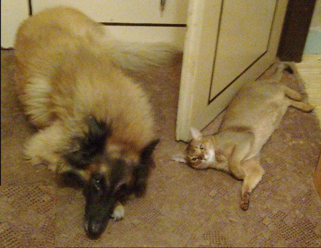 Gambar Sifat Kucing Abyssinian Yang Bisa Bersahabat Dengan Anjing