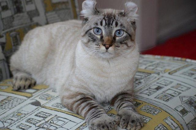 Gambar Kucing Highland Lynx Dan Gambar Kucing Alpine Lynx