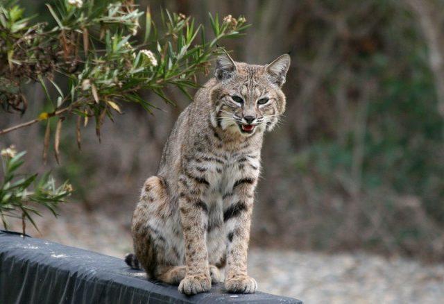 Gambar Kucing Alpine Lynx Bukan Kucing Hutan ( Lynx rufus )