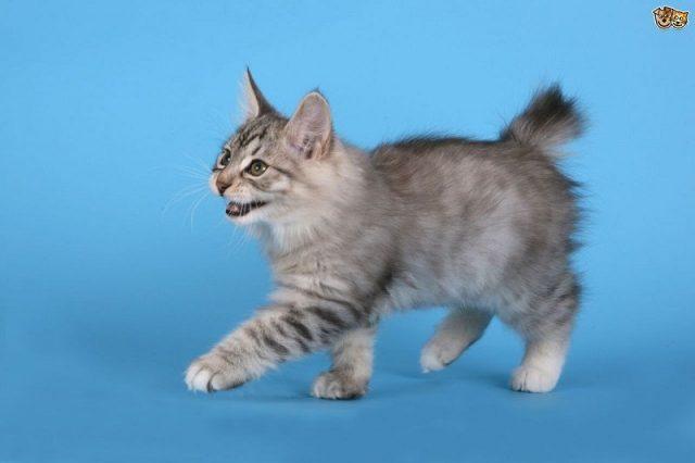 Gambar Jenis Jenis Kucing Dan Harganya Kurilian Bobtail