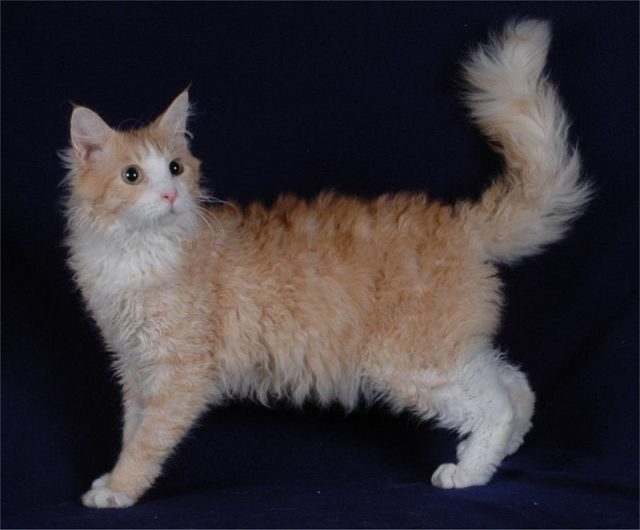 Gambar Jenis Jenis Kucing Dan Harganya LaPerm