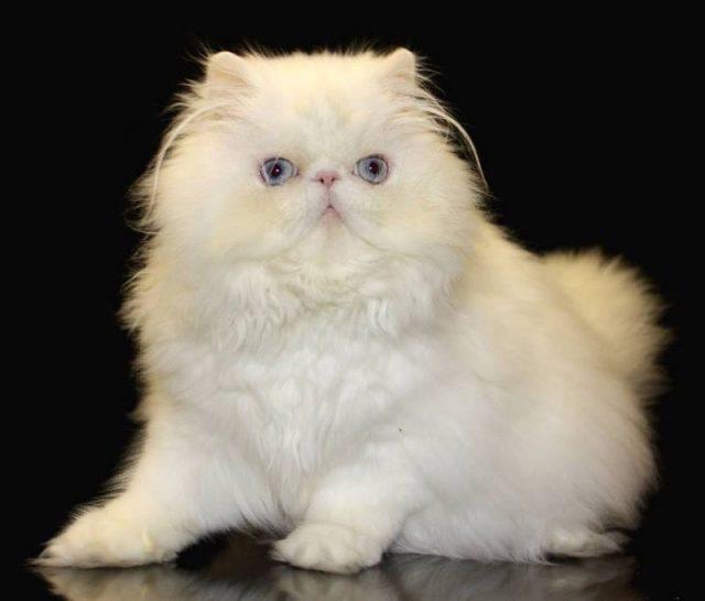 Gambar Jenis Jenis Kucing Dan Harganya Lambkin