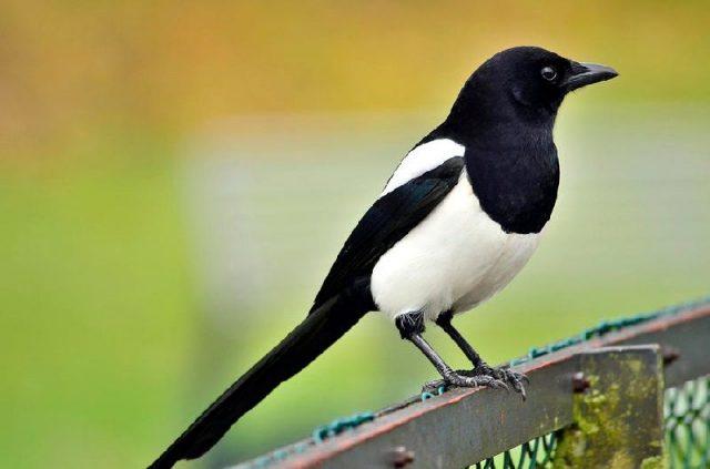Gambar Nama Nama Hewan Dalam Bahasa Inggris Dan Gambarnya Magpie