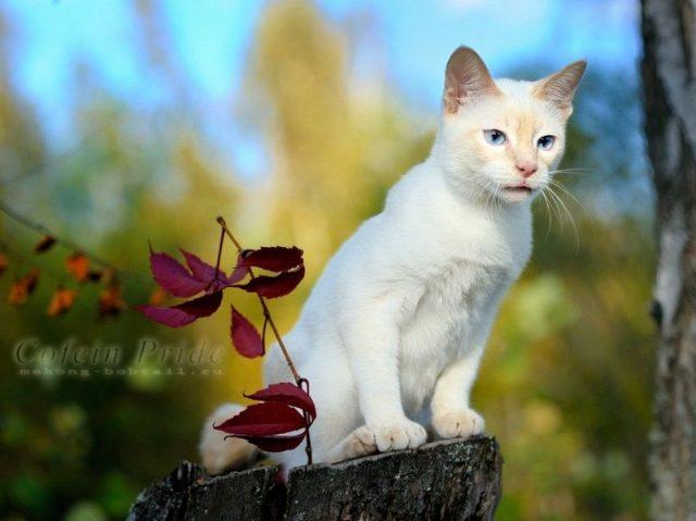 Gambar Jenis Jenis Kucing Dan Harganya Mekong Bobtail