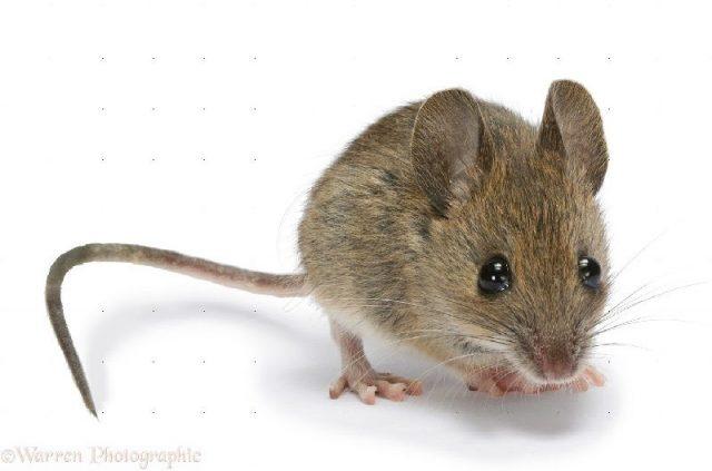 Gambar Nama Nama Hewan Dalam Bahasa Inggris Dan Gambarnya Mouse