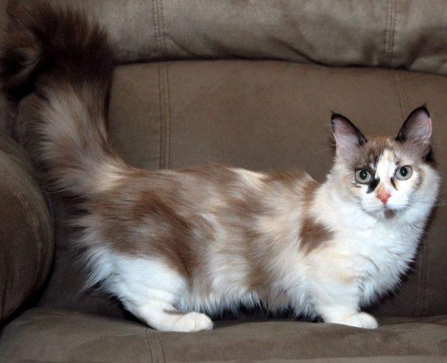 Gambar Jenis Jenis Kucing Dan Harganya Munchkin cat