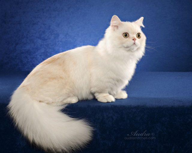Gambar Jenis Jenis Kucing Dan Harganya Napoleon cat