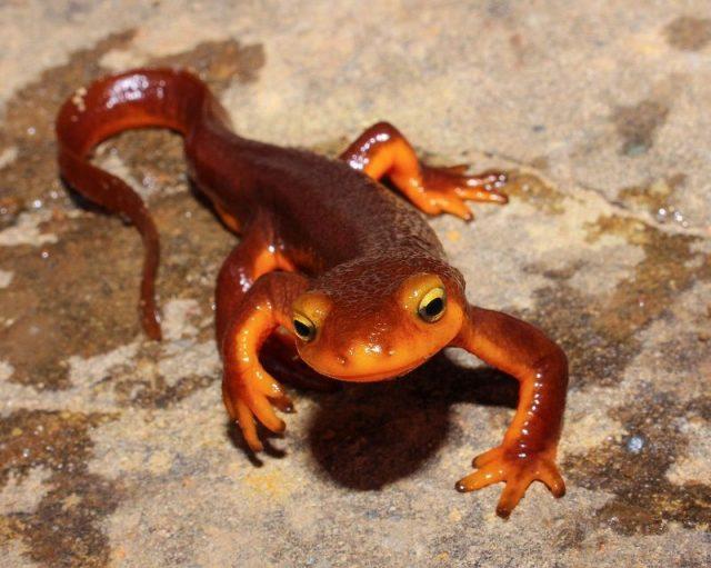 Gambar Nama Nama Hewan Dalam Bahasa Inggris Dan Gambarnya Newt