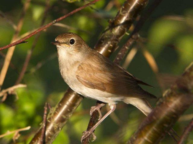 Gambar Nama Nama Hewan Dalam Bahasa Inggris Dan Gambarnya Nightingale