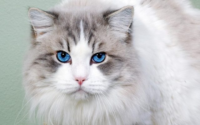 Gambar Jenis Jenis Kucing Dan Harganya Ojos Azules