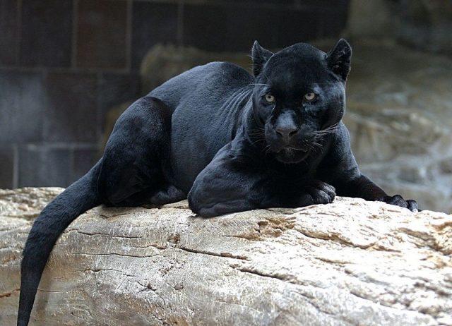Gambar Nama Nama Hewan Dalam Bahasa Inggris Dan Gambarnya Panther