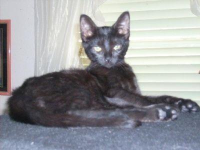 Gambar Pantherette Cat