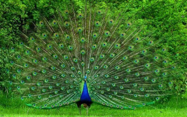Gambar Nama Nama Hewan Dalam Bahasa Inggris Dan Gambarnya Peacock