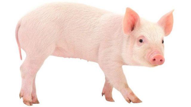 Gambar Nama Nama Hewan Dalam Bahasa Inggris Dan Gambarnya Pig