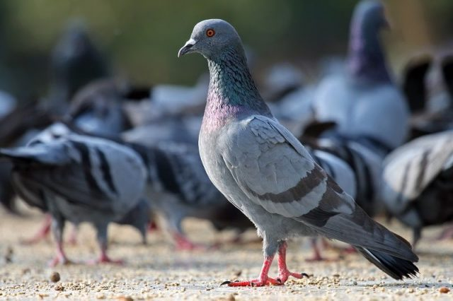 Gambar Nama Nama Hewan Dalam Bahasa Inggris Dan Gambarnya Pigeon