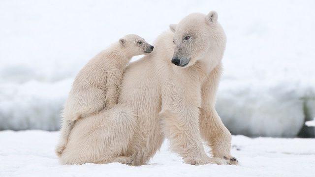 Gambar Nama Nama Hewan Dalam Bahasa Inggris Dan Gambarnya Polar bear