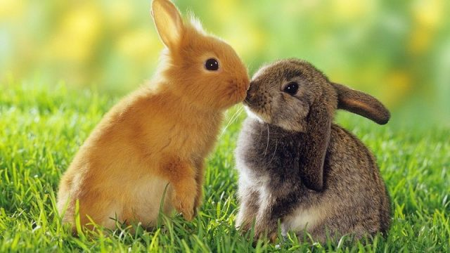 Gambar Nama Nama Hewan Dalam Bahasa Inggris Dan Gambarnya Rabbit