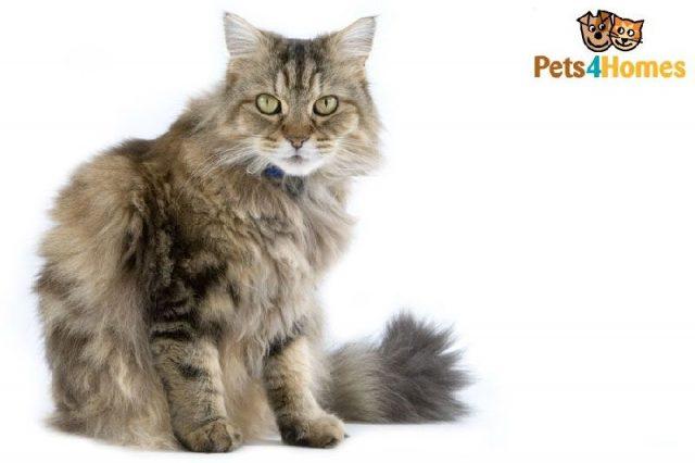 Gambar Jenis Jenis Kucing Dan Harganya Ragamuffin