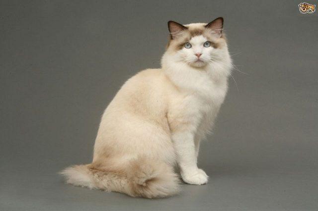 Gambar Jenis Jenis Kucing Dan Harganya Ragdoll