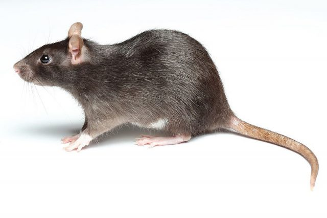 Gambar Nama Nama Hewan Dalam Bahasa Inggris Dan Gambarnya Rat