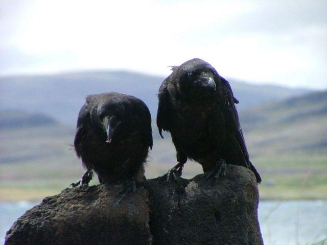 Gambar Nama Nama Hewan Dalam Bahasa Inggris Dan Gambarnya Raven