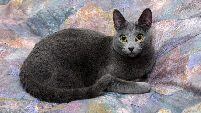 Gambar Jenis Jenis Kucing Dan Harganya Russian Blue