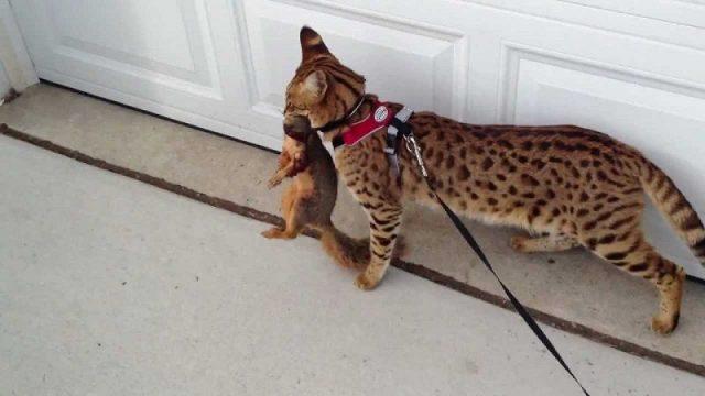 Gambar Jenis Jenis Kucing Dan Harganya Savannah cat