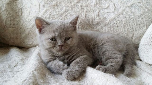 Gambar Jenis Jenis Kucing Dan Harganya Scottish Straight