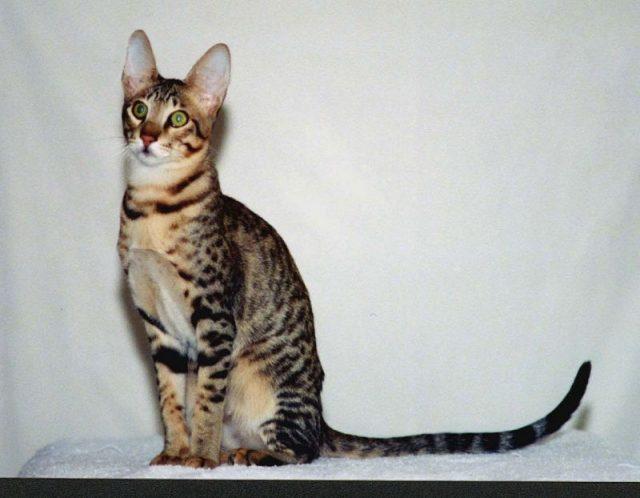 Gambar Jenis Jenis Kucing Dan Harganya Serengeti cat