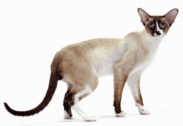 Gambar Jenis Jenis Kucing Dan Harganya Seychellois