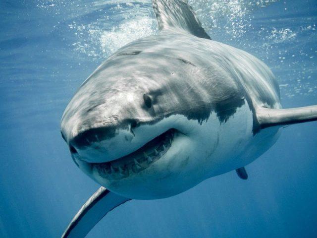 Gambar Nama Nama Hewan Dalam Bahasa Inggris Dan Gambarnya Shark