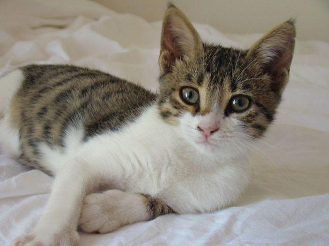 Gambar Jenis Jenis Kucing Dan Harganya Siprus (Cyprus) cat