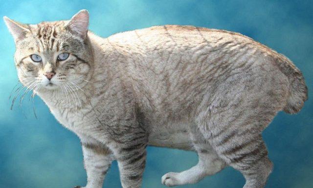 Gambar Jenis Jenis Kucing Dan Harganya Snow-Bobs