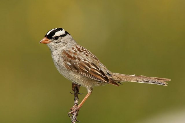 Gambar Nama Nama Hewan Dalam Bahasa Inggris Dan Gambarnya Sparrow