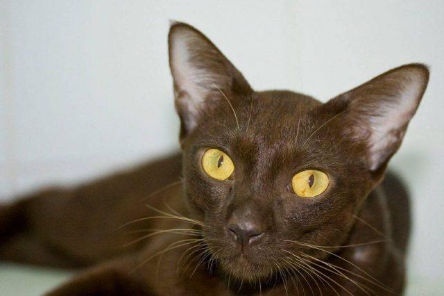 Gambar Jenis Jenis Kucing Dan Harganya Suphalak