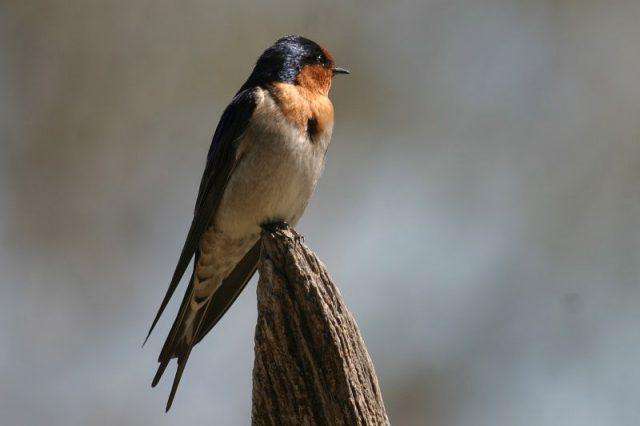 Gambar Nama Nama Hewan Dalam Bahasa Inggris Dan Gambarnya Swallow