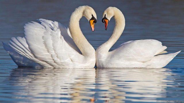 Gambar Nama Nama Hewan Dalam Bahasa Inggris Dan Gambarnya Swan