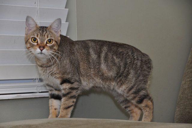 Gambar Jenis Jenis Kucing Dan Harganya Tasman Manx