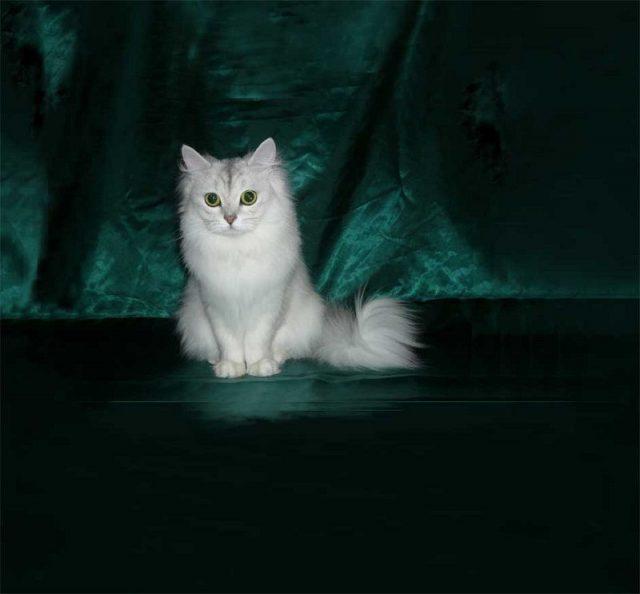 Gambar Jenis Jenis Kucing Dan Harganya Tiffanie australia