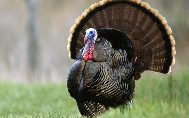 Gambar Nama Nama Hewan Dalam Bahasa Inggris Dan Gambarnya Turkey