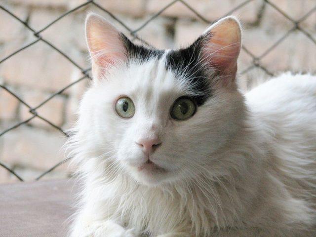Gambar Jenis Jenis Kucing Dan Harganya Van turki