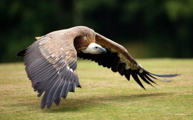 Gambar Nama Nama Hewan Dalam Bahasa Inggris Dan Gambarnya Vulture