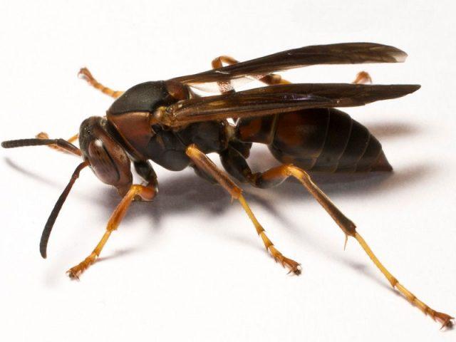 Gambar Nama Nama Hewan Dalam Bahasa Inggris Dan Gambarnya Wasp
