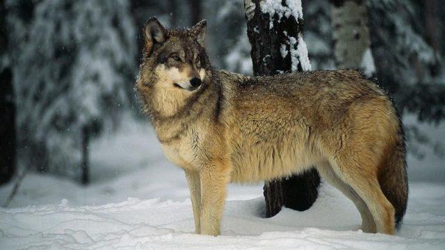 Gambar Nama Nama Hewan Dalam Bahasa Inggris Dan Gambarnya Wolf