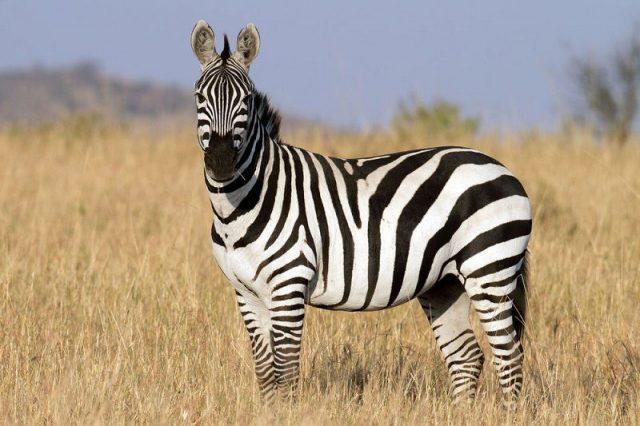 Gambar Nama Nama Hewan Dalam Bahasa Inggris Dan Gambarnya Zebra