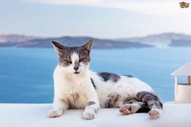Gambar Jenis Jenis Kucing Dan Harganya aegean
