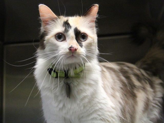 Gambar Jenis Jenis Kucing Dan Harganya aphrodite