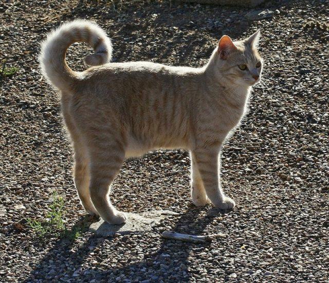 Gambar Jenis Jenis Kucing Dan Harganya curly tail cat