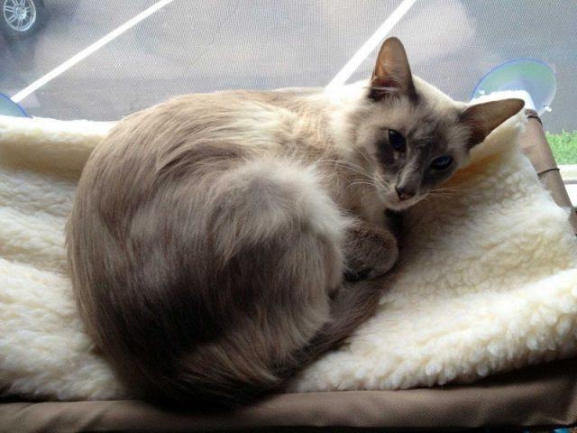 Gambar Jenis Jenis Kucing Dan Harganya javanese cat