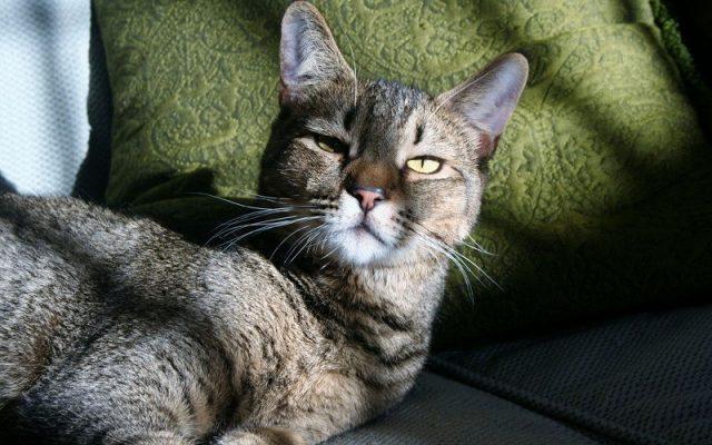 Gambar Jenis Jenis Kucing Dan Harganya jungle bob cat